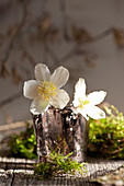 Blossoms of Christmas rose in a glass