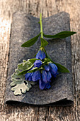 Closed Gentiana with a leaf of the Greis weed lying down