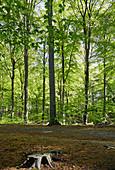 Laubwald mit Rotbuchen im Sommer