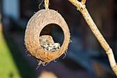 Bird food in hollow coconut