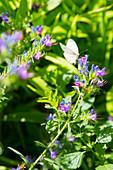 Großer Kohlweißling auf den blauen Blüten des Natternkopf