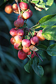 Crab apple 'Evereste'