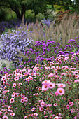 Autumn bed of asters