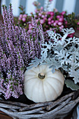 Budding heather, silver ragwort, and white pumpkin in a basket