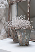 A barbed wire plant (Calocephalus) in vintage metal pot