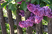 Lilac blossoms 'In memory of Ludwig Späth' on the garden fence