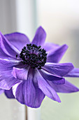 Purple poppy anemone