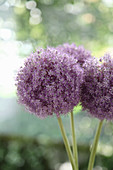 Spherical allium flowers