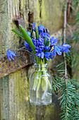 A small bouquet of alpine squill