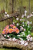 Frühlingserwachen mit Primel, Traubenhyazinthen und Blutpflaume