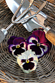 Pansies and gardening tools in flat wicker basket