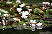 Flowering water lilies in pond with frog sitting on lilypad