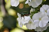 Rose beetle on white phlox flower