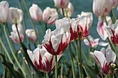 Fringed tulip 'Flaming Baltic'
