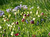 Blumenwiese im Frühling mit Schachbrettblumen