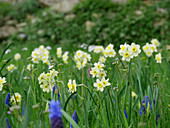 Narcissus 'Minnow' and grape hyacinths naturalised in lawn