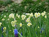 Blumenwiese im Frühling mit Narzissen 'Minnow' und Traubenhyazinthen