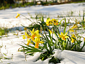Narcissus 'Jetfire' surrounded by snow