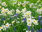 Flower meadow in spring with daffodils 'Geranium' 'Minnow', grape hyacinths, and mayflowers