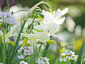 White daffodil 'Thalia' with meadowfoam