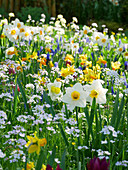 Narcissus, lady's smock, grape hyacinths and snake's head fritillaries in field of flowers in spring
