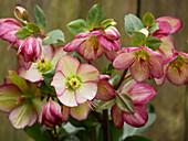 Schneerose (Helleborus x glandorfensis Ice'n Roses) 'Dark Picotee'