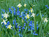 Narcissus 'Elka' and squills in field of flowers in spring