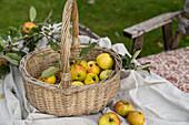 Wicker basket of freshly picked apples in the garden
