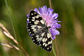 Marbled white butterfly on scabious