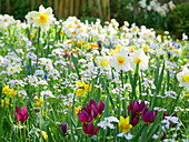 Wild tulips, lady's smock and narcissus in field of flowers in spring
