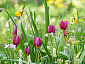 Wild tulips, grape hyacinths, narcissus and lady's smock in field of flowers in spring