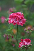 Geranium blossom - 'Mrs. Ninon' is a geranium with a floral-fruity scent