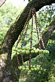 Chandelier of apples and gooseberries hung in tree