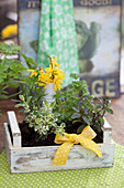 Herb plants and yellow bow in small wooden crate: mint, apple mint, parsley and rosemary