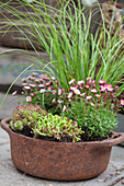 Rusty pot planted with saxifrage, ornamental grass, stonecrop and housleeks