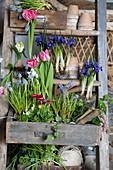 Springtime arrangement of reticulated iris, grape hyacinths, bellis and hyacinths
