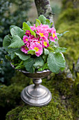 Pink spring primula planted in goblet