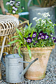 Violas and white forget-me-nots planted in terracotta pot