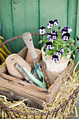 Potted viola and work utensils in wooden crate