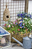 Spring arrangement of bellis, grape hyacinths, white forget-me-nots and straw in basket in front of reticulated iris