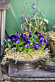 Violas in straw wreath in bowl with foot
