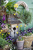 Spring arrangement of violas, narcissus, grape hyacinths, hyacinths and standard rosemary