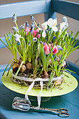 Cake-shaped arrangement of tulips, grape hyacinths and reticulated iris