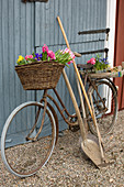 Old bicycle, spring flowers and gardening equipment