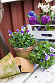 Spring with violas, hyacinths and narcissus
