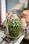 Viola in mossy pot under chicken wire cover