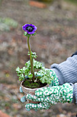 Woman holding potted poppy anemone