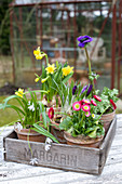 Potted bellis, narcissus, poppy anemone, crocus and star-of-Bethlehem in wooden crate