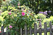 Blühender Rosenstrauch hinter Gartenzaun aus Holz