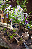 Voilas in tin can and parsley seedlings in biodegradable pots
